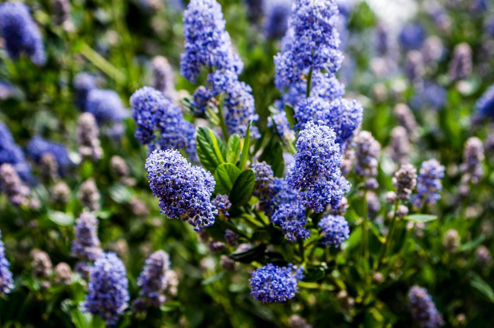 Thom Zehrfeld Photography : California Lilac
