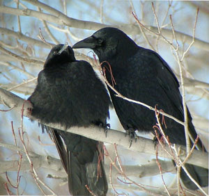 Crow, Crows, Crow Pair, Black, Tree Perch, Trees