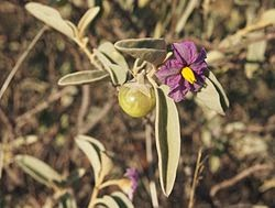 Benefits And Nutrition Of Australian Desert Raisin For Health