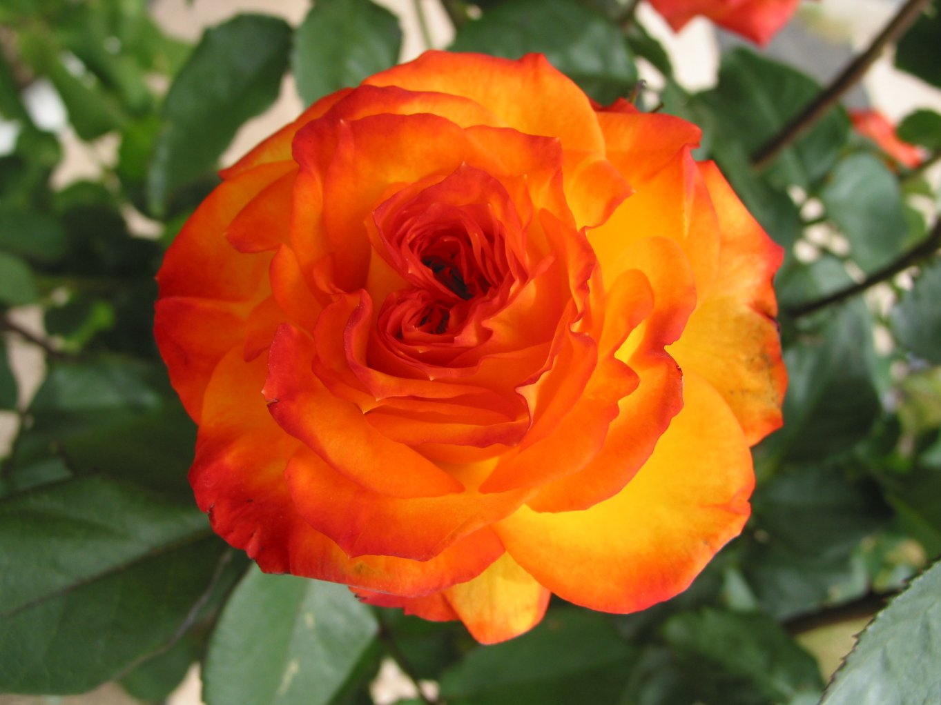 Indian celebrity zoon orange rose for The meaning of orange roses