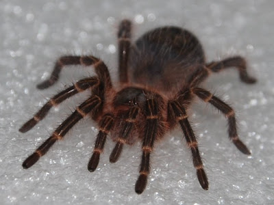 Grammostola Pulchripes Tarantula