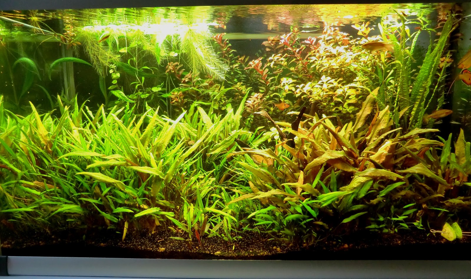 the fishtank cryptocoryne jungle 250 liters planted tank. Black Bedroom Furniture Sets. Home Design Ideas