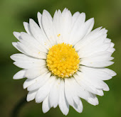 the daisiest daisy