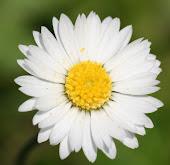 the daisiest daisy