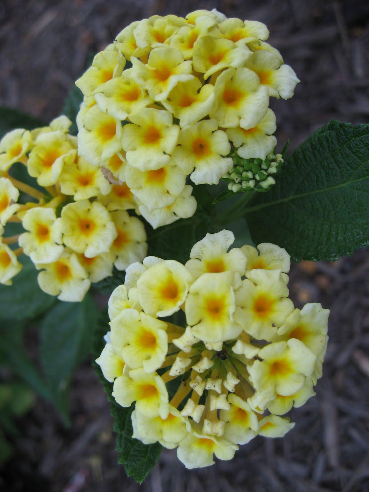 Green House Good Life Flora Focus Lantana