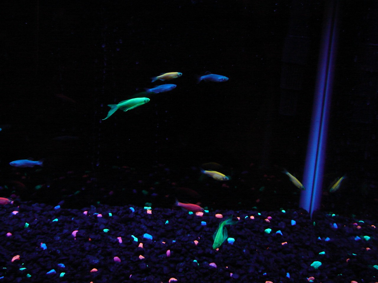 Tails scales pet store new cosmic blue glofish for Glow in the dark fish walmart