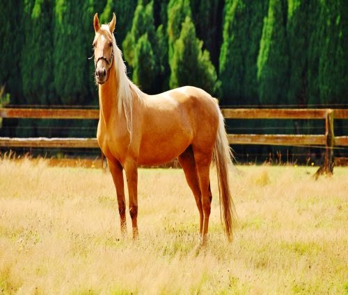 Palomino Horses picture 1
