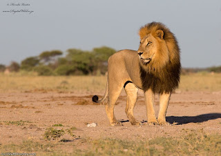 18. The King by Hendri Venter