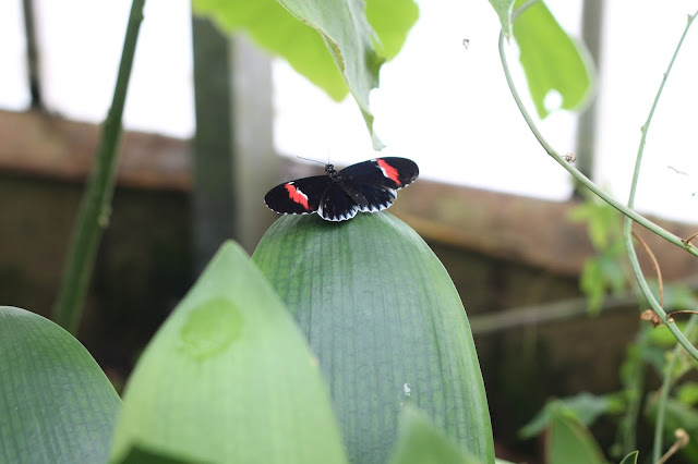 thick black white & red butterfly at Wye Valley Butterfly Zoo