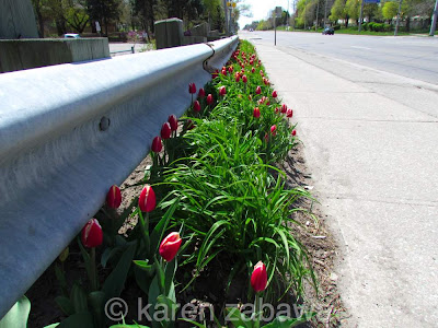 Long  border garden red and white tulips blooming along Lakeshore Road Port Credit.