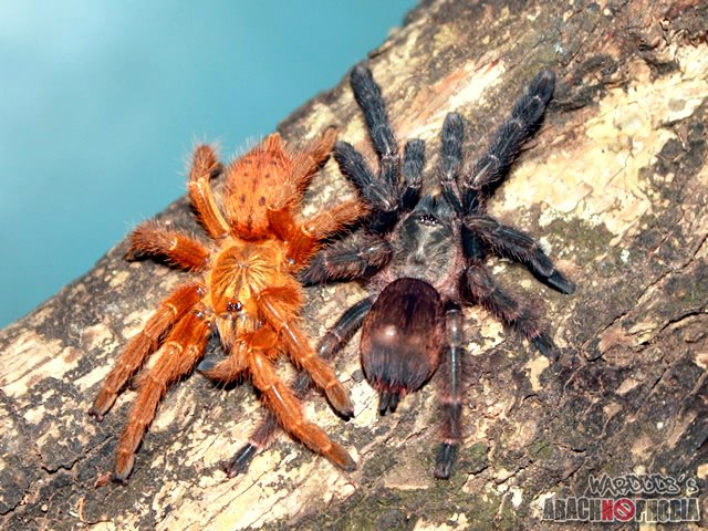 Tarantulas and others: Bitten by an Orange Baboon Tarantula