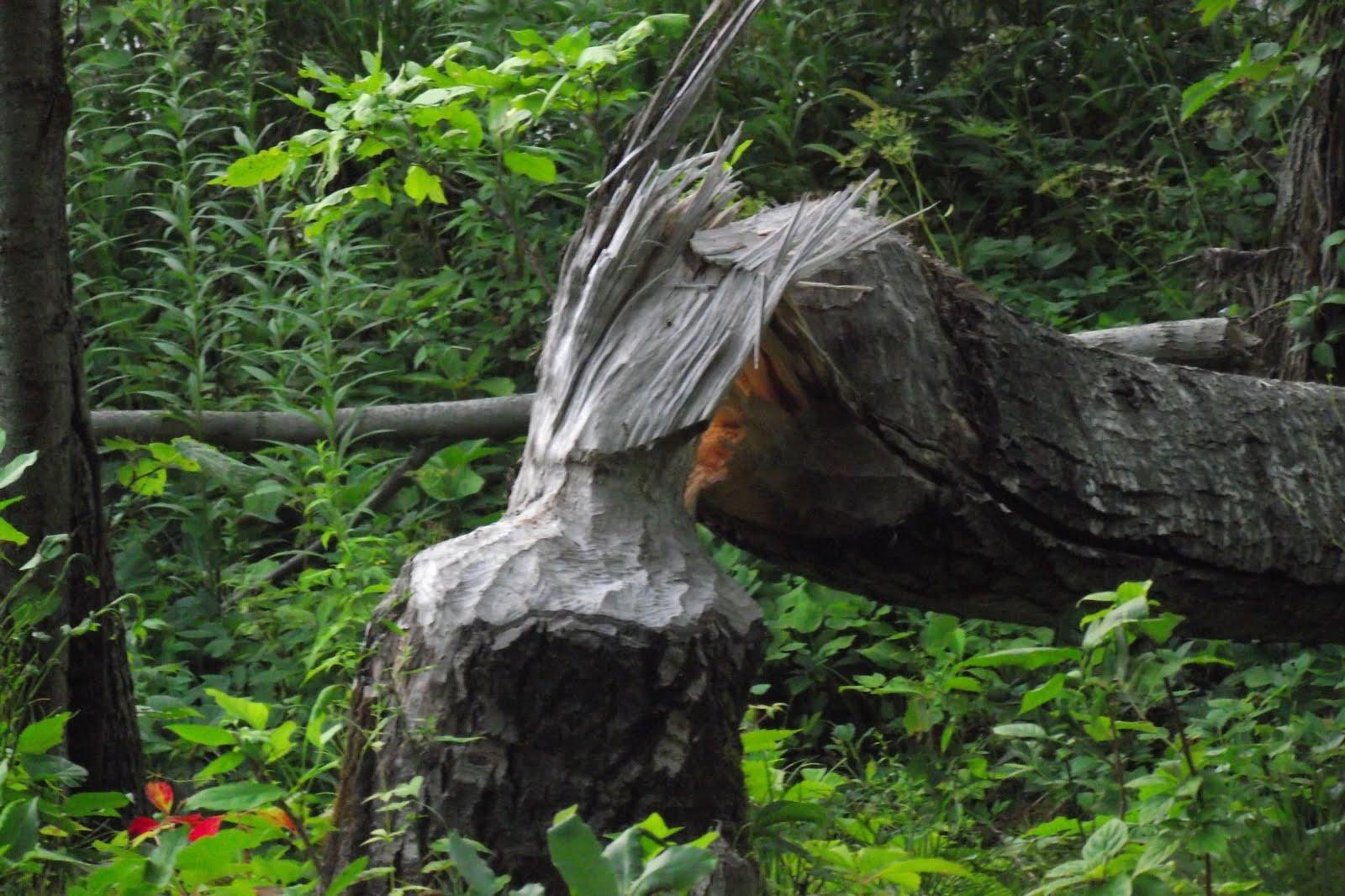 Blog de chasse au chevreuil l 39 arc dommages par le castor for Castor habitat