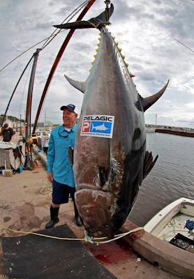 Big Fishes Of The World Tuna Bluefin Page 2
