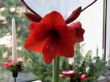 Hippeastrum   2015