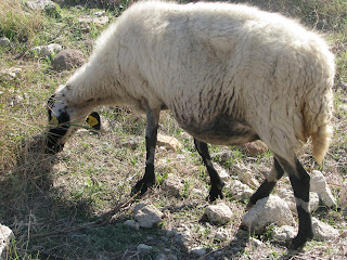 Local Fauna Antimachia Kos