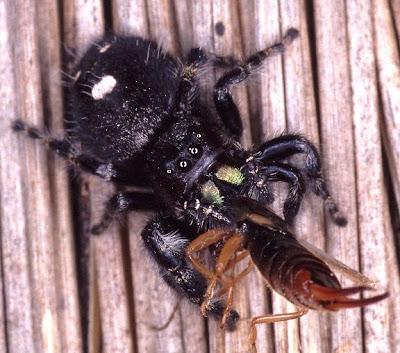 araña saltarina atrevida Phidippus audax