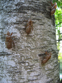 Cicada skins on tree, view 2