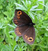Staroplaninski leptir