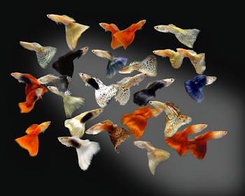 Lepistes balığı bakkında geniş bilgi