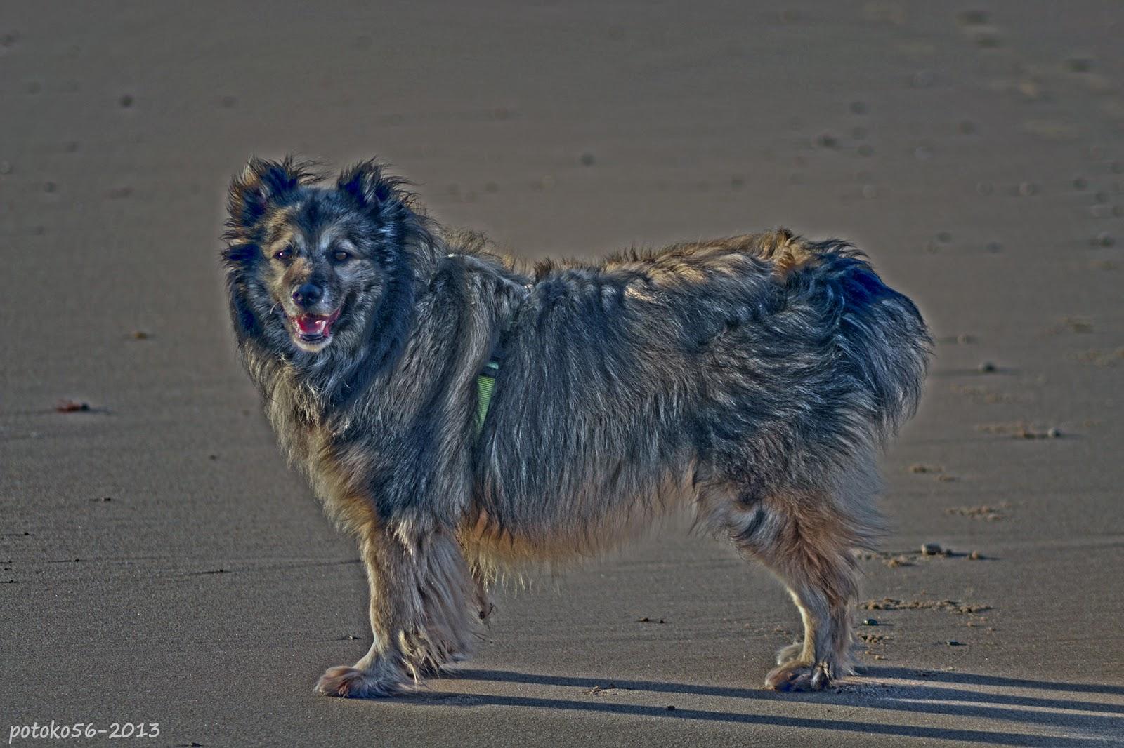 Perro paseando por la playa