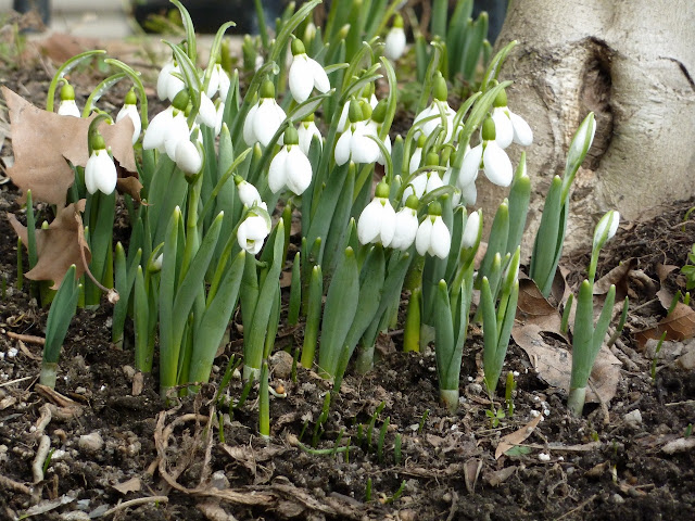 First snowdrops blooming of the year, Eastern Parkway