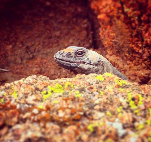 Chuckwalla Lizard, Arizona