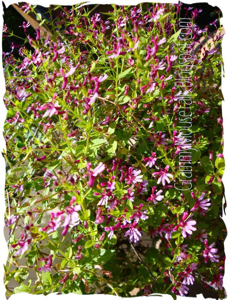 mexican heather blooms photo