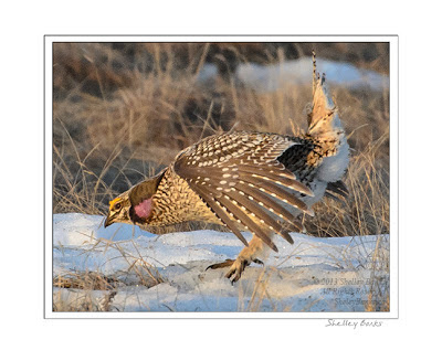 Sharp-tailed Grouse displaying feathers  © SB , Copyright Shelley Banks, all rights reserved.