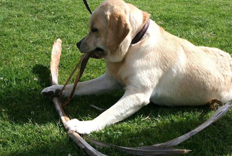 Labrador pup shreds palm fronds