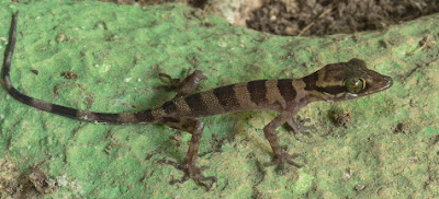 A new gecko from Malaysia
