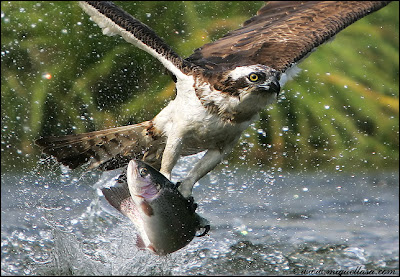Eagle Hunting Pictures