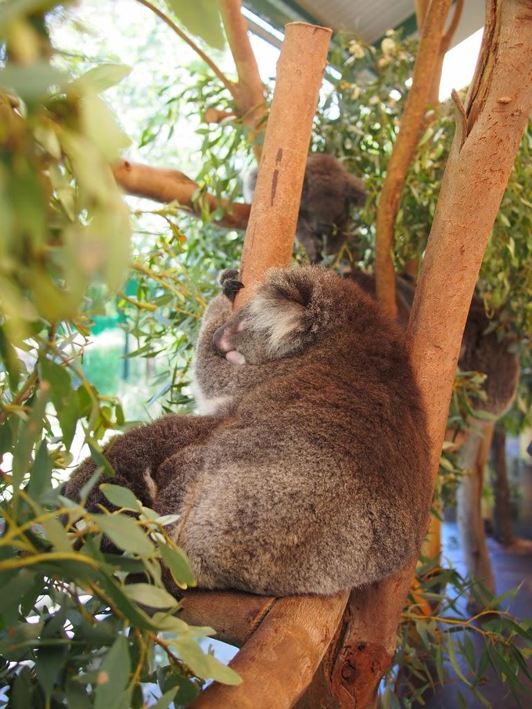 perth koala zoo