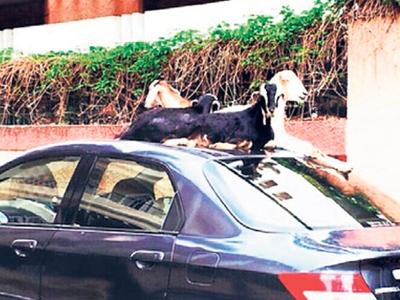 Tiga ekor kambing di daerah Kilpauk, Chennai yang didakwa sering merosakkan kenderaan awam.