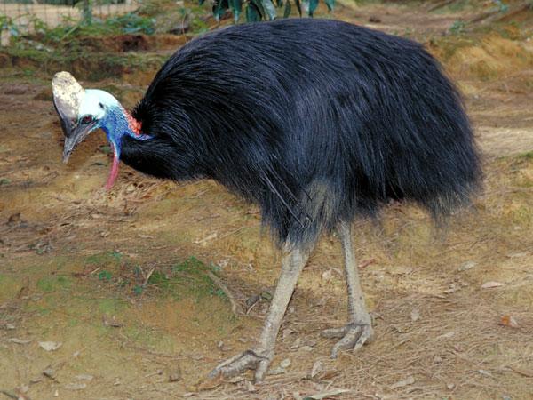 the cassowary bird 16122012 cassowary house: bird watching at the cassowary house - see 41 traveler reviews, 41 candid photos, and great deals for cassowary house at tripadvisor.