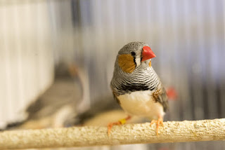 Using Finches To Study Huntington's Disease