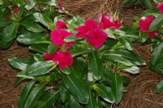 Catharanthus Roseus Flowers Image