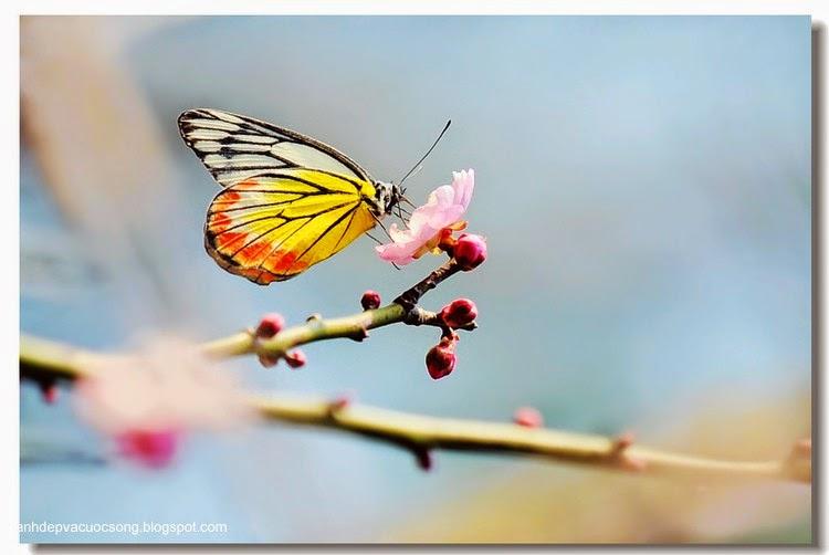 Con bướm xuân 11