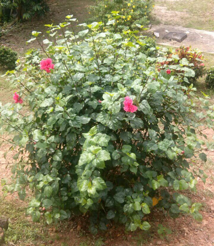Plantas de panam plantas ornamentales de panam for Origen de las plantas ornamentales