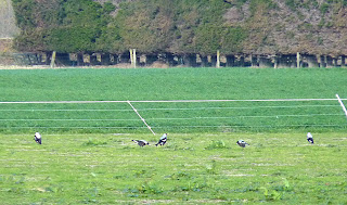 Birdstrike+magpies+chch.jpg