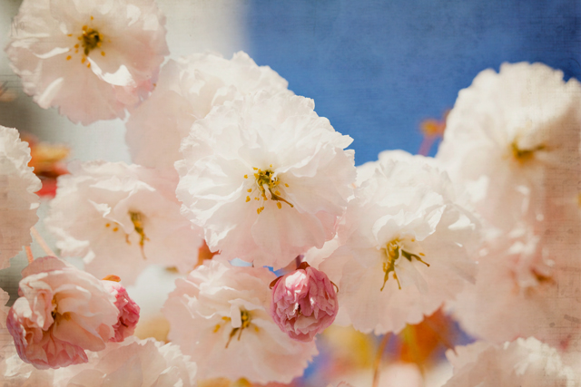 blog cherry blossoms spring