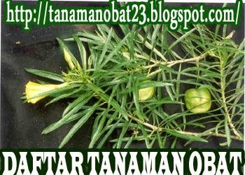 http://tanamanobat23.blogspot.com/2015/04/tanaman-obat-genje-clerodendron-indicum.html