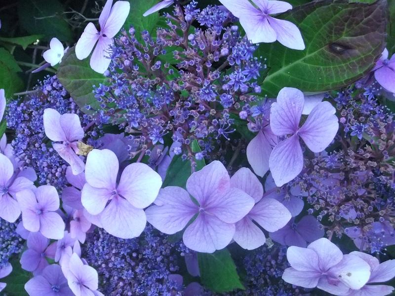 Flores y rboles hortensia - Cuidados de una hortensia ...