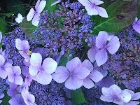 hortensia-flor