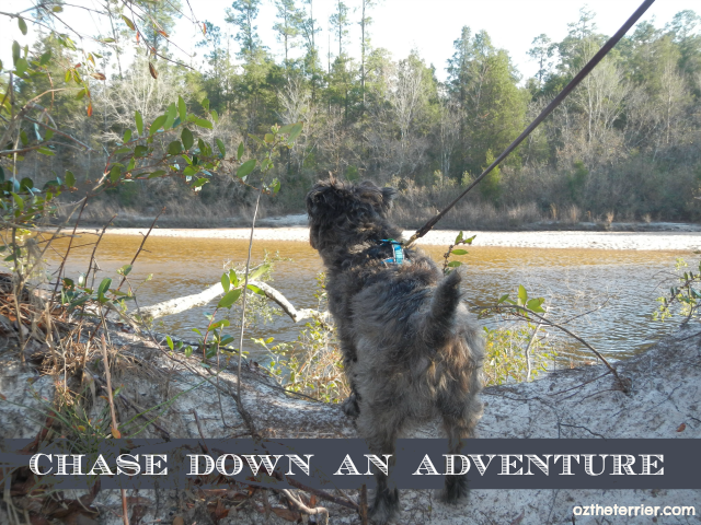 Oz the Terrier chasing down an adventure