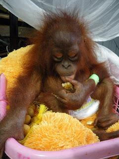 Rescued baby orangutan