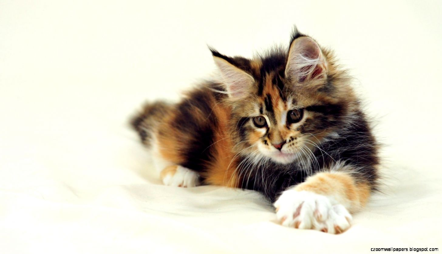 Maine Coon cat Wallpapers   New WallpapersNew Wallpapers