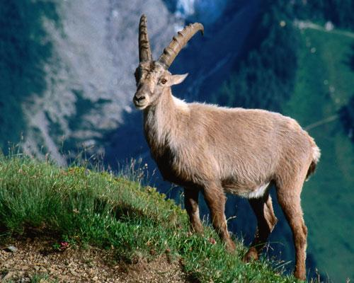 amazing-extinct-animals-resurrected-by-cloning-pyrenean-ibex