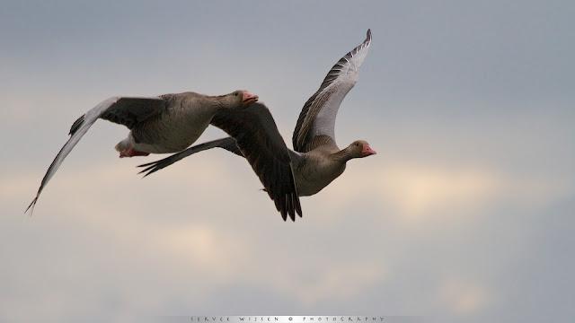 Luidruchtige Grauwe Ganzen - Noisy Greylag Geese