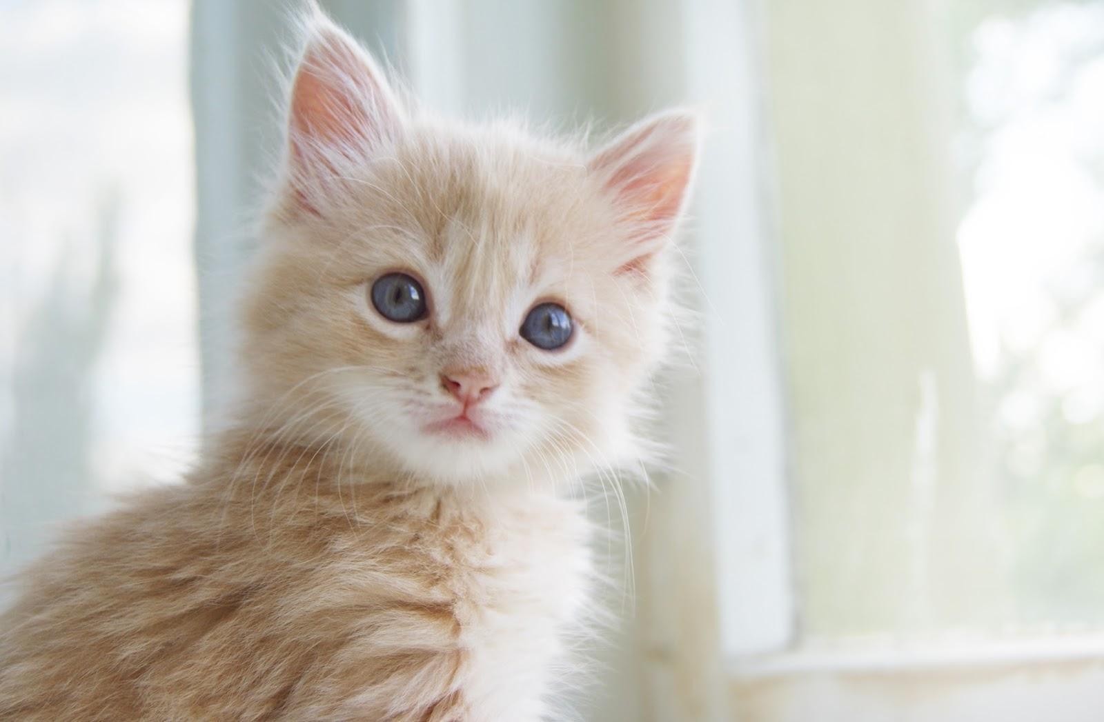 Kedilerin aşıları: ne yapmalı ve ne zaman