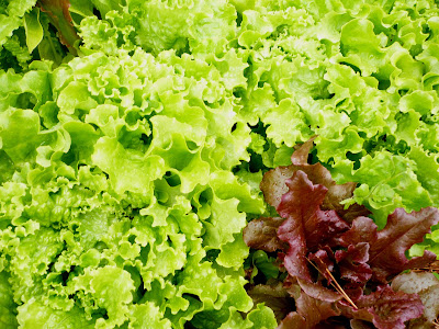 Ripe leaf lettuce growing in the garden